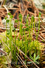 Schizaea pusilla, Curly Grass Fern; Ocean County, New Jersey  2012-05-21  #4