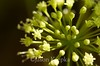 Aralia nudicaulis, Wild Sarsaparilla; Burlington County, New Jersey 2014-05-24   17