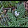 Pacific Blackberry—Rubus ursinus