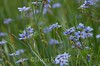 Sisyrinchium angustifolium, Blue Eyed-grass; Monmouth County, New Jersey 2012-05-16   13
