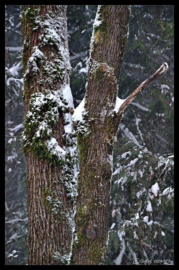 Moss on Maple