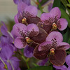 Purple orchid elegance
