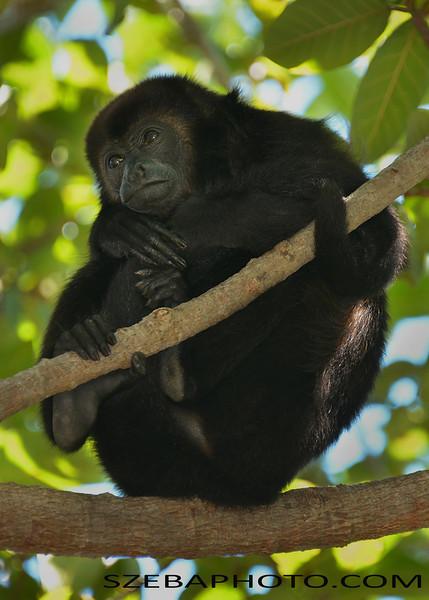 Howler Monkey. Roatan, Honduras 2014.