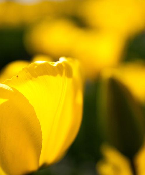 Tulips, Skagit County, Washington, 2000