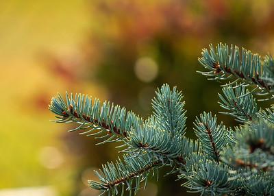 Autumn Spruce