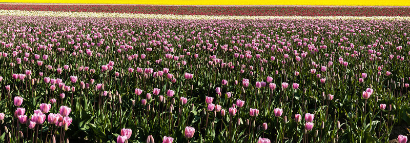 Tulip Field 2, Skagit County, Washington, 2000