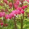 Bleeding hearts in Munsinger Gardens