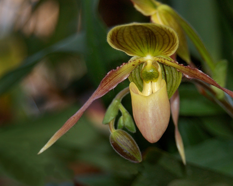 green and bronze slipper orchid