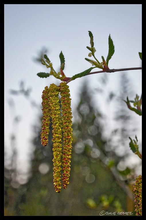 Sitka Alder aka Mountain Alder—Alnus viridis
