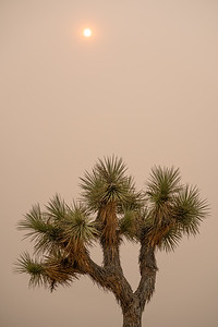 Joshua Tree on a smoky day