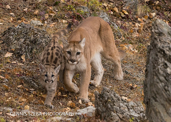 Mountain Lion and cub. Montana 2018