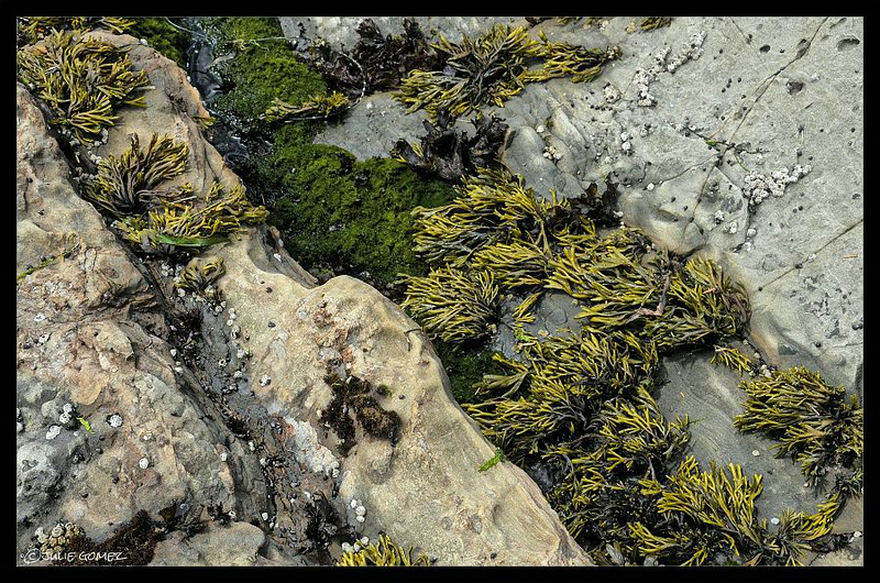 Tide Pool Sea Plants