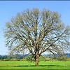 Oregon White Oak ~ Quercus garryana