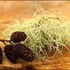 Alder Cones & Usnea Lichen