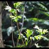 Red Elderberry—Sambucus racemosa
