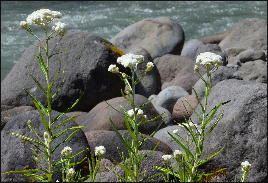 Pearly Everlasting ~ Anaphalis margaritacea