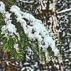 Snow on Douglas-Fir—Pseudotsuga menziesii