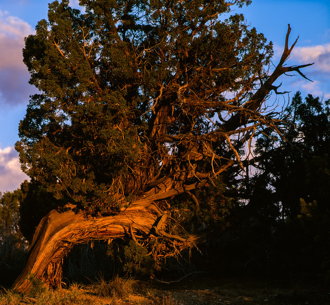 Juniper, University of New Mexico, Gallup, New Mexico, 1996