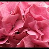 Hydrangea ~ In the Pink