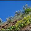 Sulphur Flower—(Eriogonum umbellatum var polyanthum)