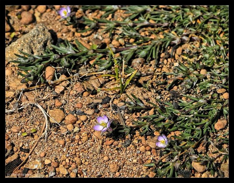 Red Sandspurry—Spergularia rubra