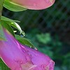 Raindrops on Foxglove