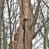 live cottonwood snag<br /> twisted, torn, tattered, cracked<br /> sustains wildlife<br /> <br /> Willamette River—West Linn, Oregon (2017)