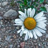 Oxeye Daisy—Leucanthemum vulgare