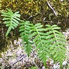 Licorice Ferns Sprouting