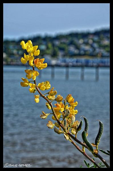 Coastal Bush Lupine — Lupinus arboreus