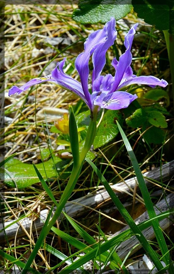 Oregon Iris ~ Iris tenax