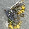 Rockweed aka Bladderwrack—Fucus vesiculosus