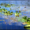 """Yellow Pond Lily """"Spatterdock"""" ~ Nuphar lutea"""