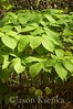 Aralia nudicaulis, Wild Sarsaparilla; Burlington County, New Jersey 2014-05-24   11