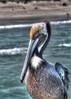 Pelican, 2012