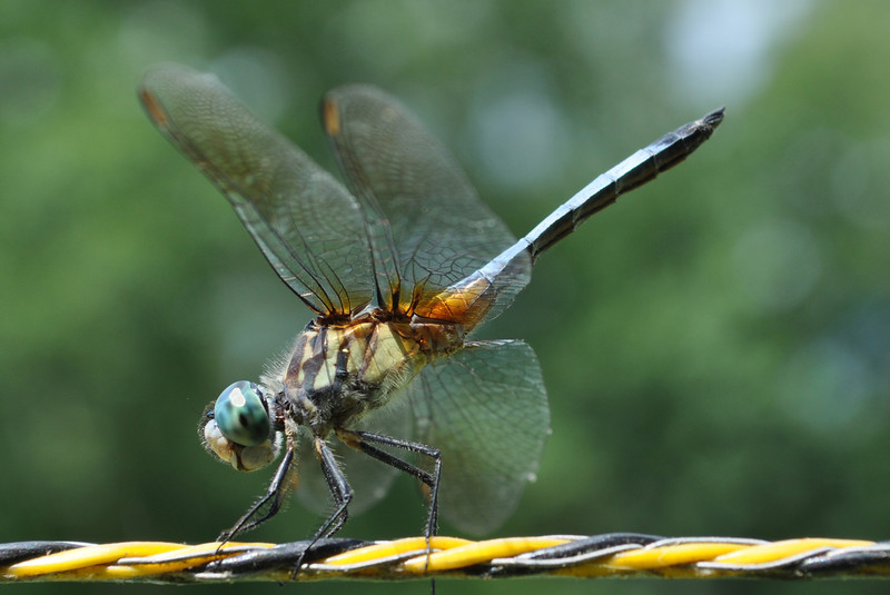 Dragonfly. Cape Carteret, NC 2011