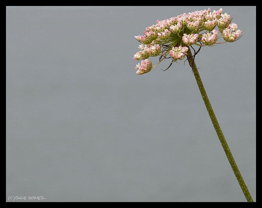 Queen Anne's Lace—Daucus carota