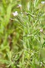 Epilobium coloratum, Purpleleaf Willowherb; Burlington County, New Jersey 2014-08-26   1