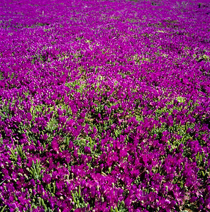 Purple, Mountain View, California, 1992