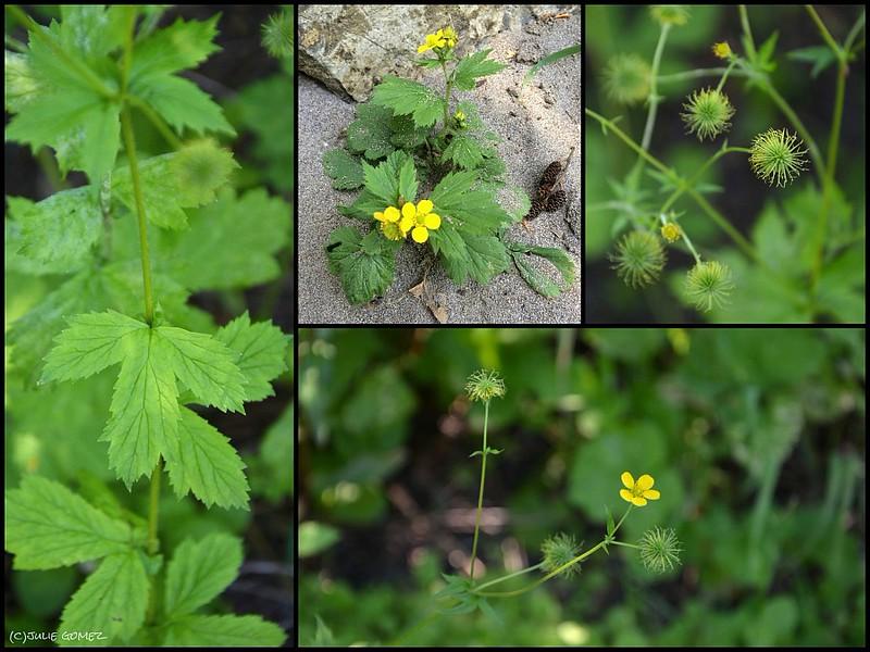 Large-leaved Avens—Geum macrophyllum