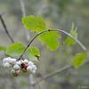 Snowberry—Symphoricarpos albus