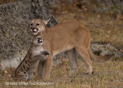 Mountain Lion and cub. Montana 2018