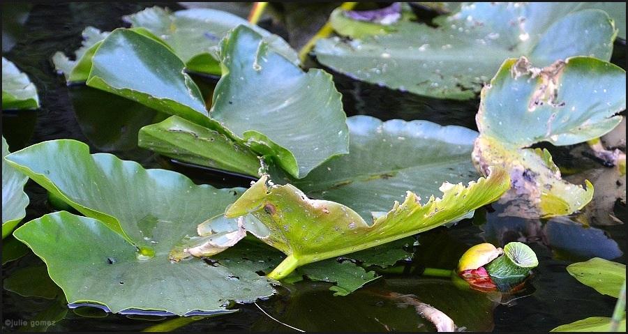 "Yellow Pond Lily ""Spatterdock"" ~ Nuphar lutea (polysepalum)"