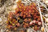 Pyxidanthera barbulata, Pixie Moss; Ocean County, New Jersey 2014-05-24   1