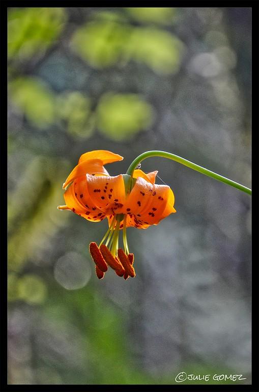 Columbia Tiger Lily—Lilium columbianum