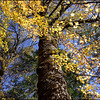 Bigleaf Maple ~ Acer macrophyllum