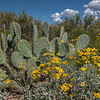 Prickly pear and brittlebrush