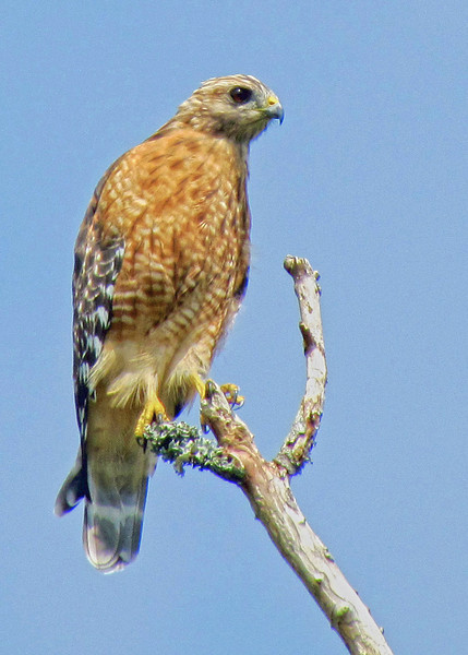 Red shouldered hawk. Cape Carteret, NC 2011.