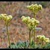 Heartleaf Buckwheat—Eriogonum compositum