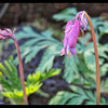 Pacific Bleeding Heart—Dicentra formosa